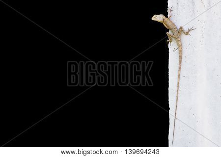 Green crested lizard on the wall on black background