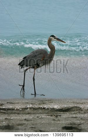 Great Blue Heron walking along the beach in Florida