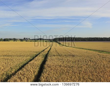 Ripening wheat fields in the Vale of York in summertime