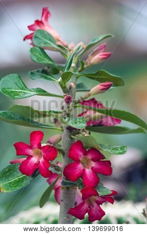 adenium tree grows in the garden, red flowers with pink tinge