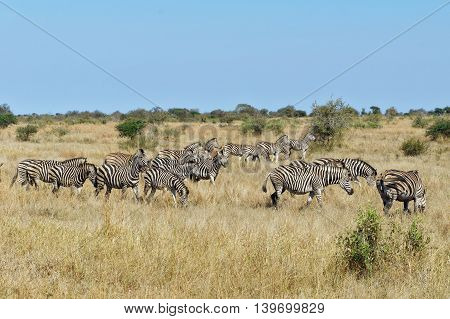 Zebras, antelopes and warhog, african animals in Addo national park, South Africa