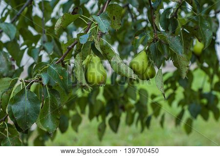 Several green pears hanging on a tree.