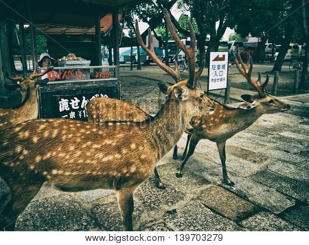 Nara - July 2016: Sika deers with vendor of deer crackers in background. Nara Park