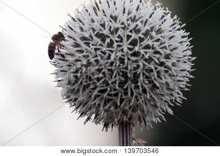 white large flower like a ball growing in the garden, the bees collect nectar