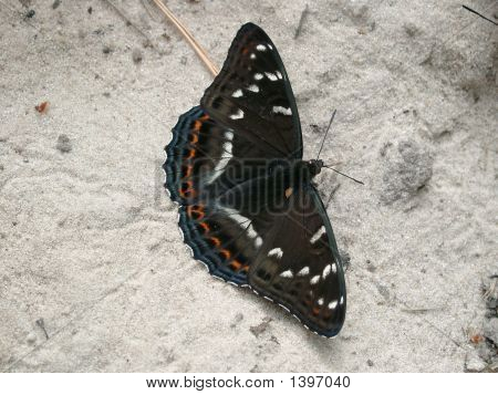 Dark Brown Butterfly