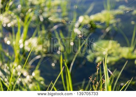 spider lit as a silhouette by rising sun in the morning green grass