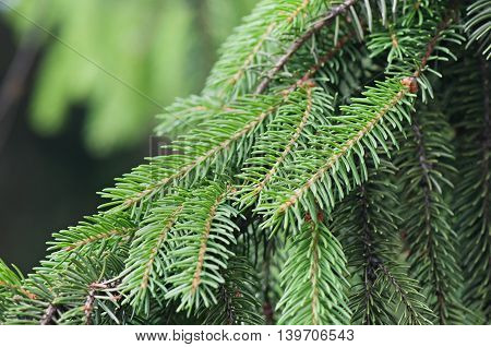 Green branch tree, flora, forest, christmas background.