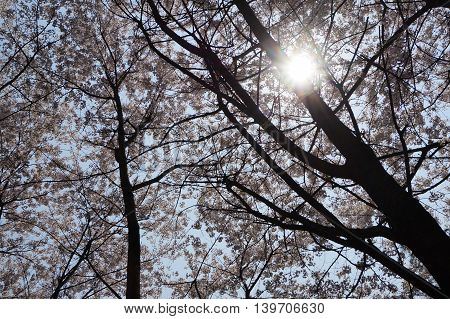 The Sun Shining Through Cherry Blossom Trees