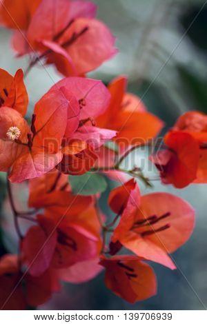 orange bougainvillea branch on a gray background