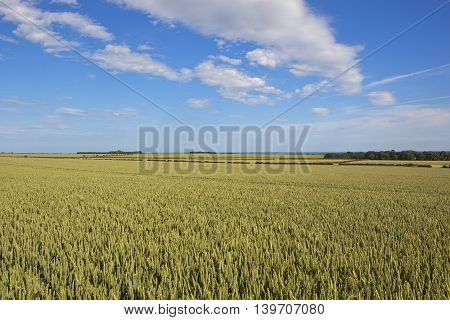 Extensive Yorkshire Wheat Fields