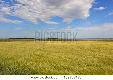 Golden Barley Fields