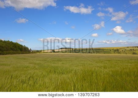 Barley Field With Woodland