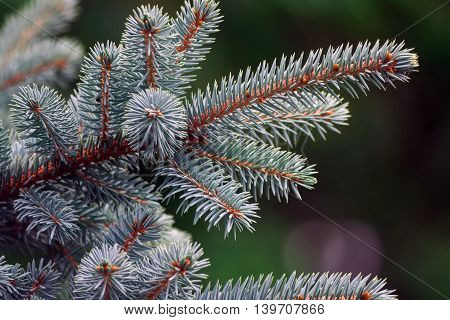 branch blue spruce growing in the garden
