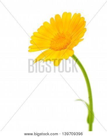 flowers yellow marigold isolated on white background