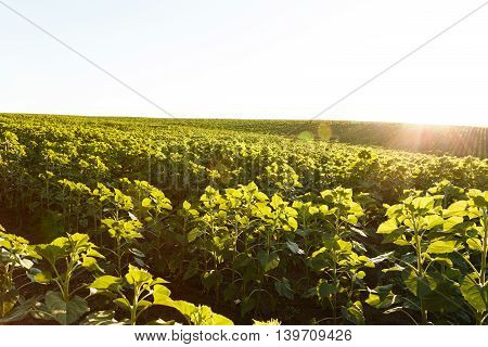 Young sunflower ranges in the field at sunset