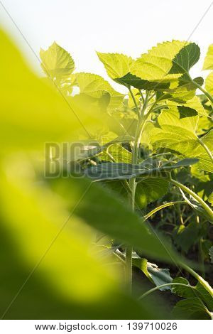 Sunflower growth at sunset with backlight close