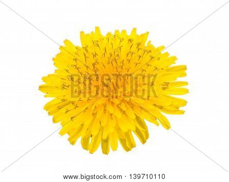 dandelion yellow, flower isolated on white background