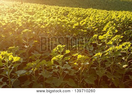 Young sunflower in the field at sunset