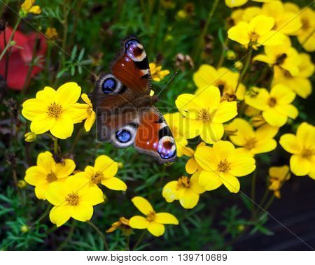 peacock butterfly sitting on yellow flowers in the flowerbed