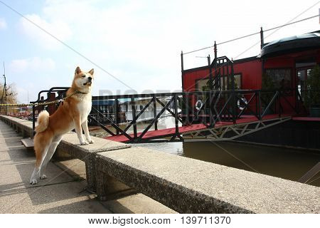 Akita Inu on the riverbank with a faraway look