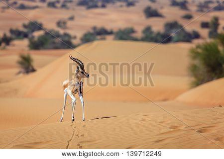 Arabian Gazelle in the Desert Conservation Reserve near Dubai, UAE