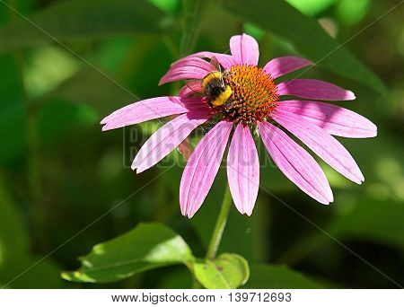 Flower and bumblebee.  Lodz, Poland - July 10, 2016 Bumblebee while collecting pollen from a flower.