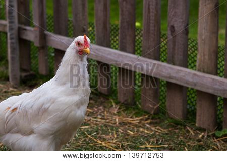 White hen with red comb in the garden