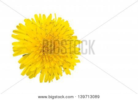 yellow dandelion flower isolated on white background