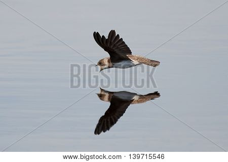 European sand martin (Riparia riparia) in flight catching insects in the water surface