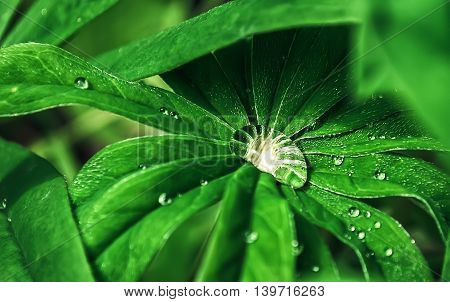 Large crystal clear drop of morning dew on leaves of grass closeup. Blured selective focus on the dewdrop.