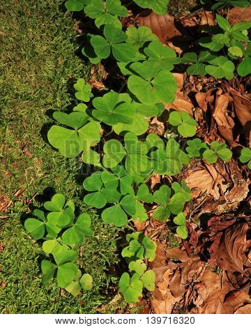 Wild plants growing in forests. Wood sorrel.