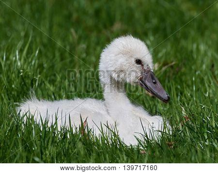 Mute swan (Cygnus olor) swanling resting in green grass in its habitat