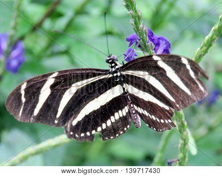 Zebra butterfly in garden of Niagara Falls Ontario 16 July 2016 Canada