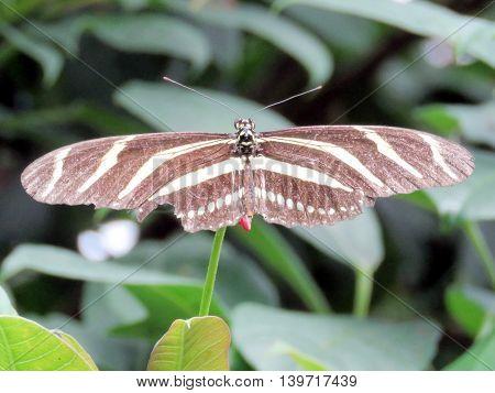 Zebra Longwing butterfly in garden of Niagara Falls Ontario 16 July 2016 Canada