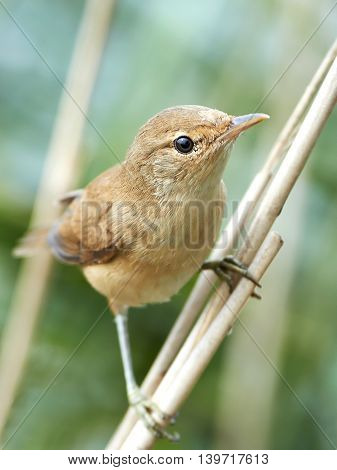 Closeup image of the Eurasian reed warbler (Acrocephalus scirpaceus)
