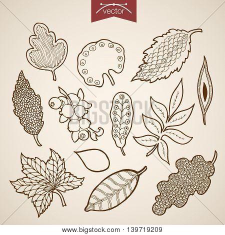 Engraving vintage hand drawn vector leaves Sketch leaf herbarium