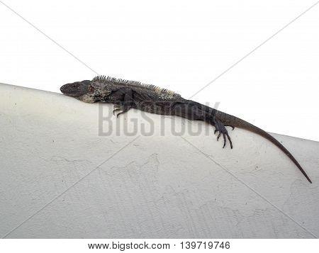 Greyish sunbathing iguana over a white background