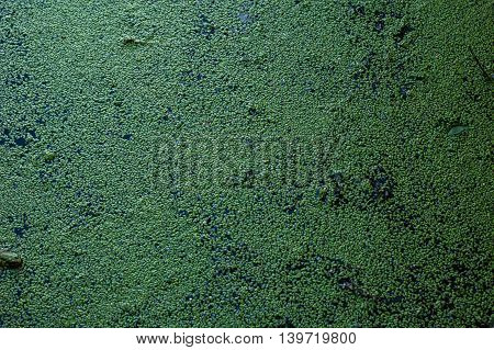 Dark green background formed by duckweed on the water.