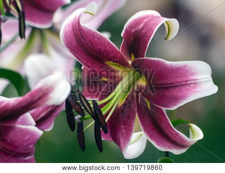 beautiful maroon with white lilies grow in the garden of a cloudy day, closeup