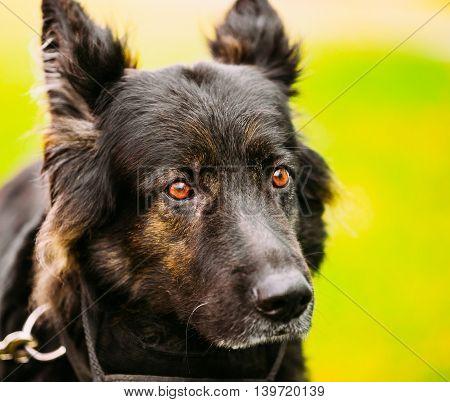 German Shepherd Dog Close Up Portrait. Alsatian Wolf Dog.