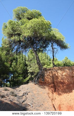 Tree with roots on the rock at the coast of Aegean Sea close to Nikiti, Greece