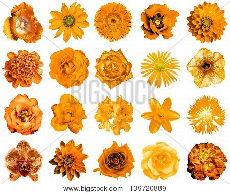 Collage Of Natural And Surreal Orange Flowers 20 In 1: Peony, Dahlia, Primula, Aster, Daisy, Rose, G