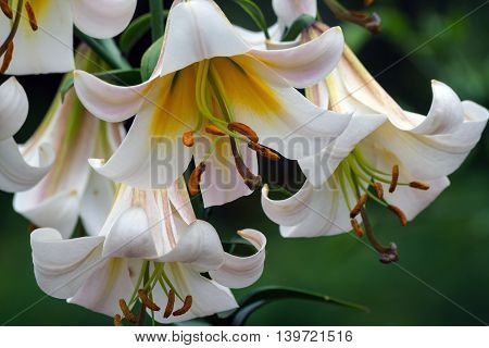 beautiful white and yellow lilies growing in a garden of a cloudy day,