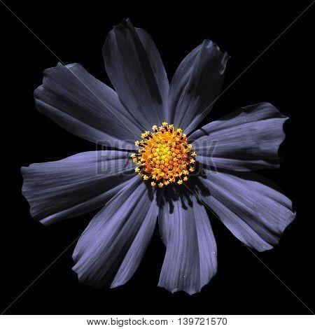Strange Grey Surreal Flower Primula Macro Isolated On Black