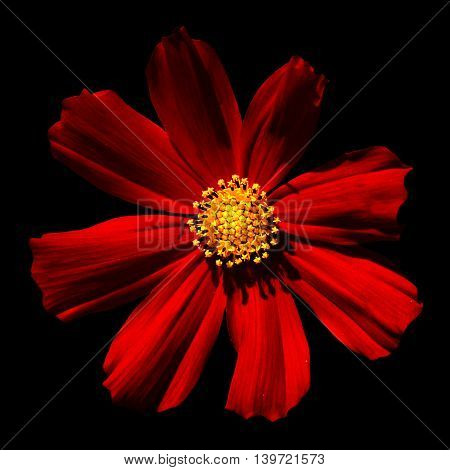 Red Surreal Flower Primula Macro Isolated On Black