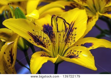 beautiful bright yellow, with brown midway, lilies grow in the garden of a cloudy day,