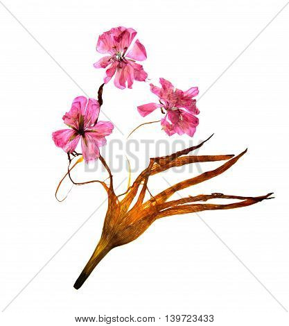 bizarre curved extruded dried lily petals. pressed delicate flower geranium pink.