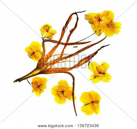 bizarre curved extruded dried lily petals. Flower yellow celandine pressed