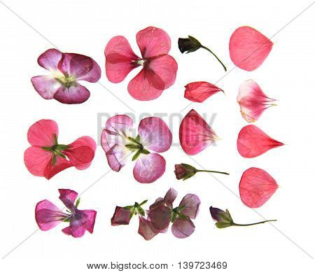 Pressed multicolour geranium set perspective. Dry delicate isolated flowers and petals of pelargonium