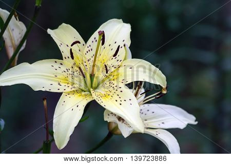 beautiful delicate white lily with yellow center, grows in the garden of a cloudy day,